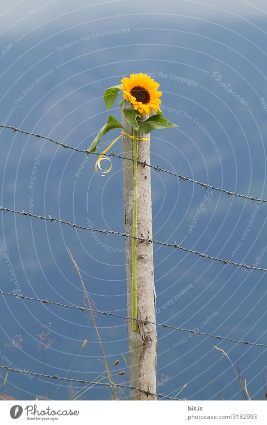 Nature Plant Beautiful Landscape Flower Environment Freedom Climate Monument Border Environmental protection Sunflower Barbed wire Fence post