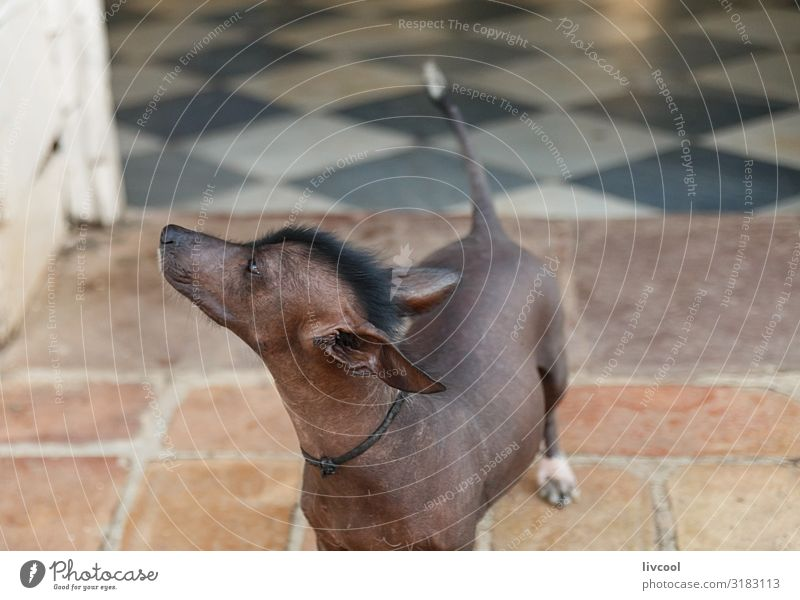 mexican hairless dog II , cuba House (Residential Structure) Friendship 1 Human being Animal Pet Dog Authentic Cool (slang) Friendliness Beautiful Uniqueness