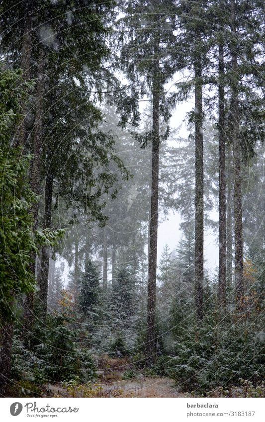 Forest walk with snowflakes Landscape Elements Autumn Winter Fog Ice Frost Snow Snowfall Black Forest To enjoy Dark Tall Cold Gray Green White Moody Relaxation