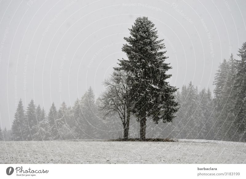 snow from yesterday Landscape Elements Winter Fog Snow Snowfall Tree Meadow Forest Stand Cold Gray Black White Moody Climate Nature Environment Subdued colour