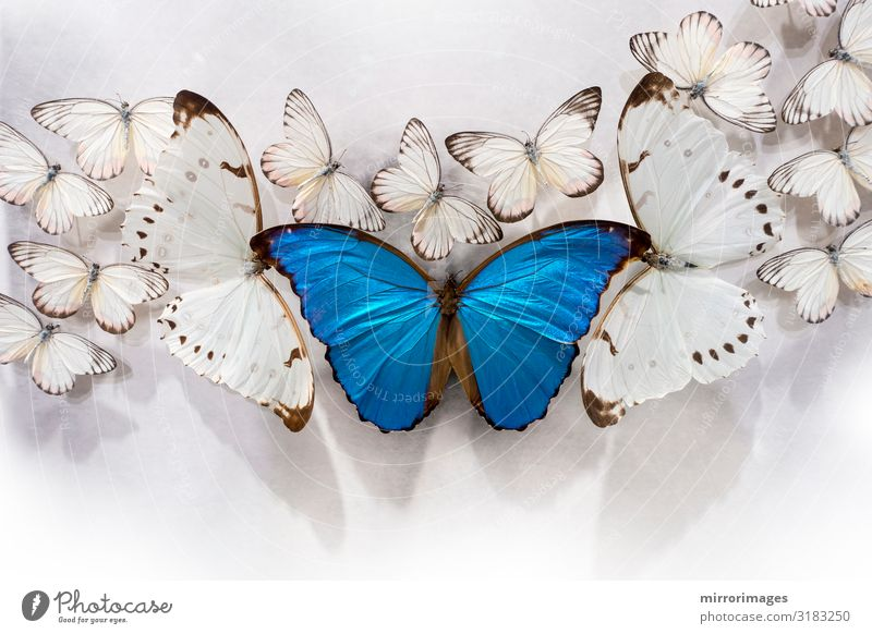 bunch of white butterflies, two bigPieris rapae, and a big Blue Morpho on a white table top Beautiful Nature Animal Butterfly Natural White Beauty Photography