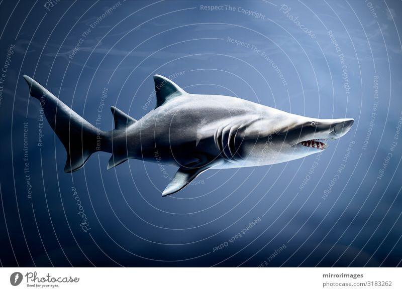 Tiger shark in deap blue ocean waters Life Ocean Mouth Nature Animal Shark Aquarium Large Wild Blue Gray Dangerous fish swimming danger marine predator Deep