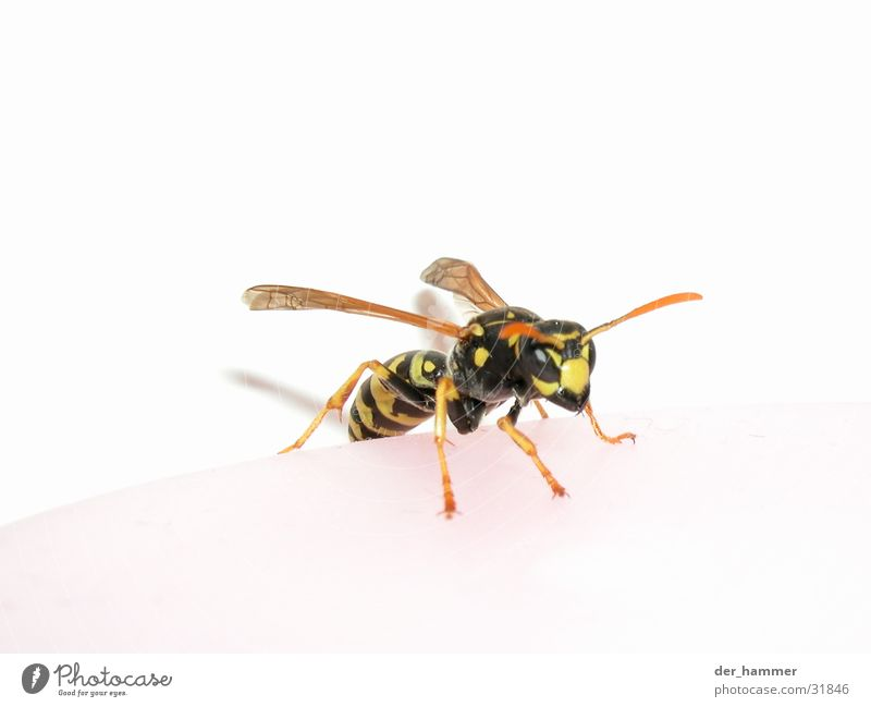 Wasp - Vespina Wasps Macro (Extreme close-up) Insect Pair of pliers Chitin Black Yellow Aggression Wing bothersome