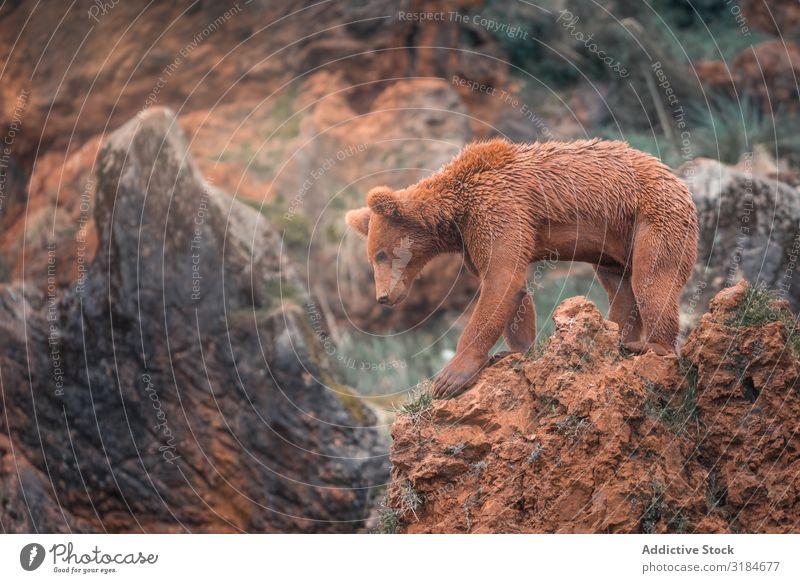 Brown bear walking in rocky terrain Bear Walking Nature Mammal Animal Risk Powerful