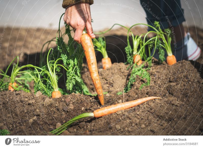 Crop woman harvesting carrot in garden Woman Carrot Harvest Garden Earth pulling Sit Sunbeam Day Farm Organic Food Vegetable Agriculture Plant Fresh Healthy