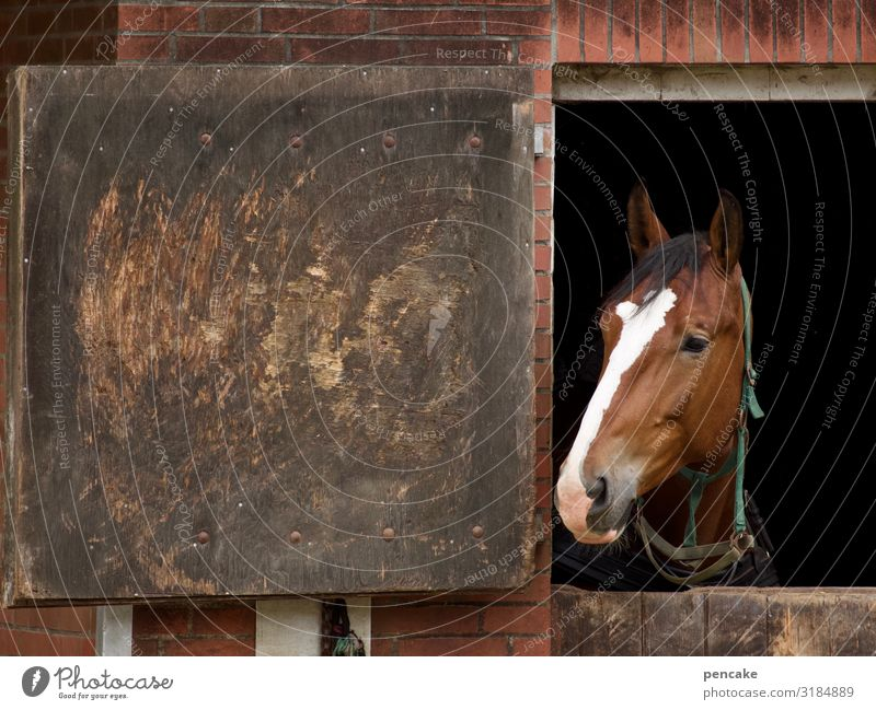 open stable Animal Horse 1 Observe Horse's head Barn Door Open Divided stable door Colour photo Exterior shot Close-up Detail Copy Space left Animal portrait