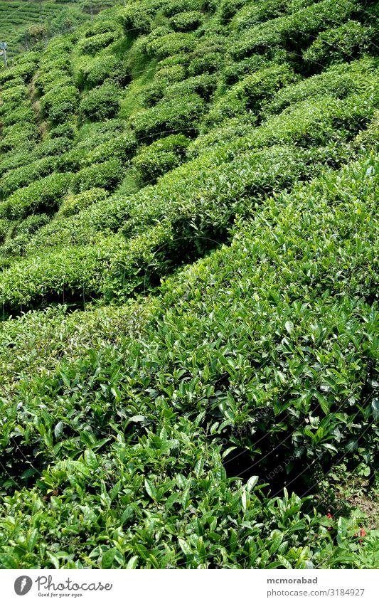 Tea Garden Beverage Plant Green tea garden brew drink plantation Cultivation Farm estate Crops trimmed Cut pruned top surface close Vantage point mountain slope