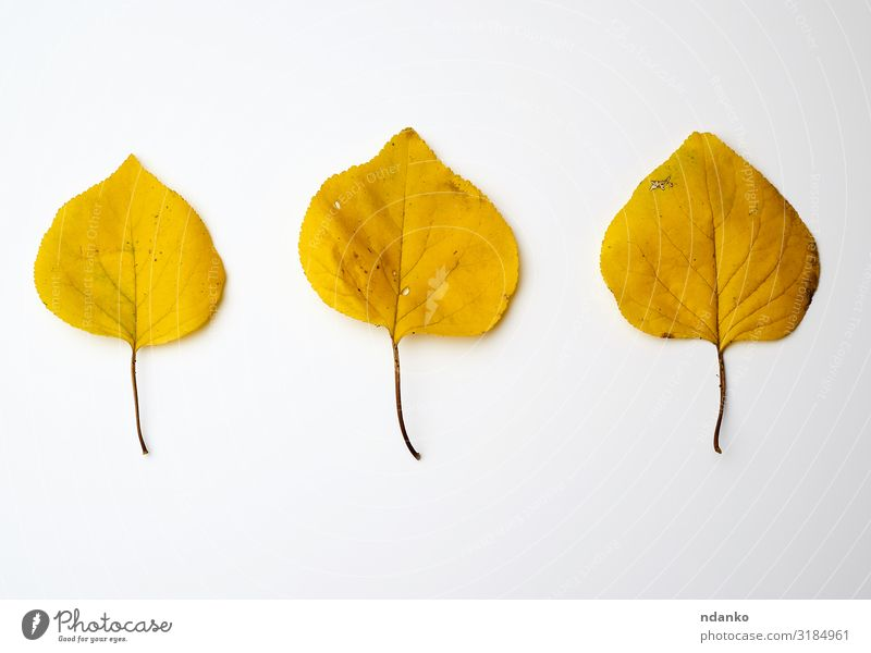 three yellow dried apricot leaves Garden Environment Nature Plant Autumn Tree Leaf Fresh Bright Natural Yellow Gold Green White Colour Apricot backdrop