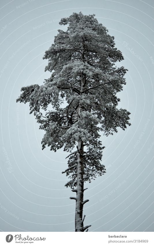 Sky Blue White Tree Winter Cold Snow Stand Large Tall Elements Pine