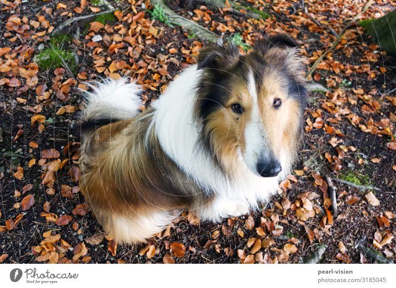 Merlin & Autumn Nature Leaf Pet Dog Collie 1 Animal Looking Wait Colour photo Exterior shot Bird's-eye view Animal portrait Looking into the camera Upward