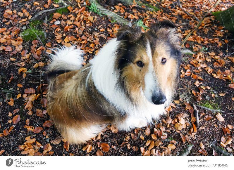 Nature Dog Animal Leaf Autumn Wait Pet Collie