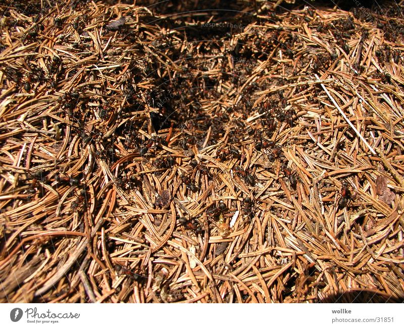 Entrance Chaos Muddled Ant Fir needle Ant-hill