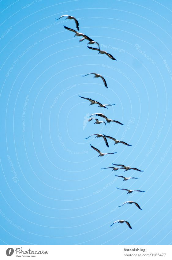 In flight Environment Nature Plant Air Sky Cloudless sky Summer Animal Wild animal Bird Wing Pelican Flock Flying Blue Group Floating Many Black White Society