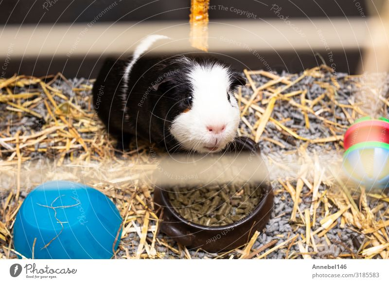Guinea-pig black and white in its cage, little cute pet close-up Drinking Face Adventure House (Residential Structure) Family & Relations Exhibition Nature
