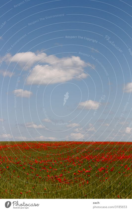 22 December - beginning of spring II Agriculture Landscape Sky Clouds Beautiful weather Plant Flower Blossom Agricultural crop Poppy Poppy blossom Meadow Field