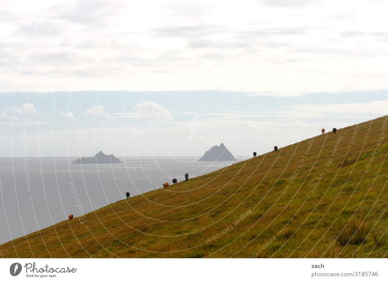 hillside location Landscape Water Sky Meadow Field Hill Coast Ocean Atlantic Ocean Island Skellig Iceland Ireland Cow Cattle Cattle farming Herd To feed Gray