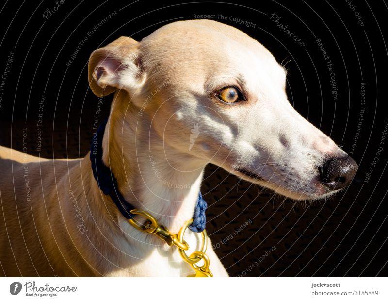 windy dog Elegant Pet Greyhound 1 Animal Dog collar Brown Gold Emotions Watchfulness Senses Status symbol Body tension Dog's snout Companion Purebred dog