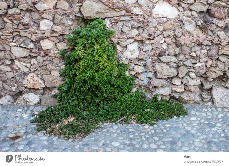 green source Nature Plant Ivy Wild plant Village Wall (barrier) Wall (building) Lanes & trails Cobbled pathway Growth Brown Green Stone Colour photo