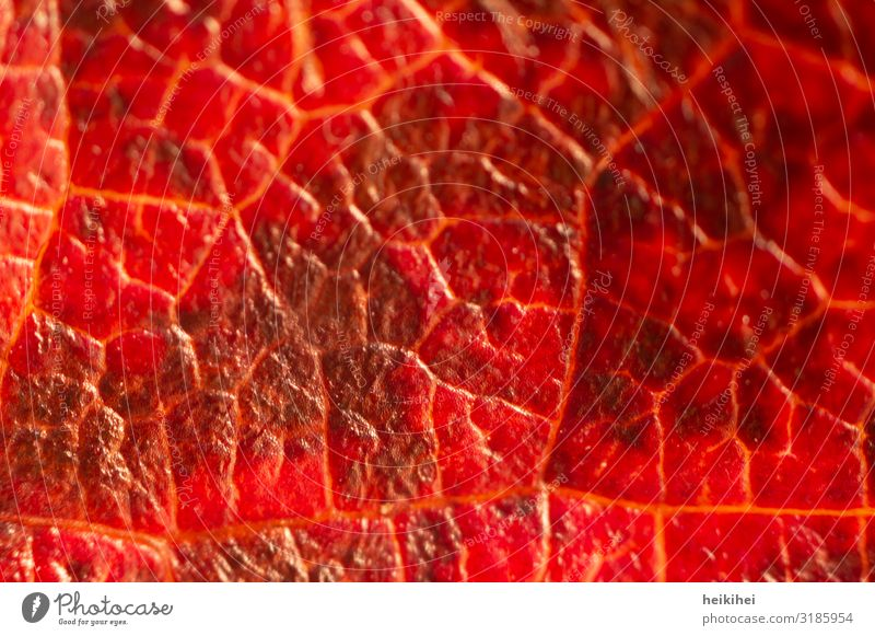 Close-up view of a sheet coloured in autumn Environment Nature Autumn Plant Leaf Esthetic Exceptional Near Natural Red Art Rachis Detail
