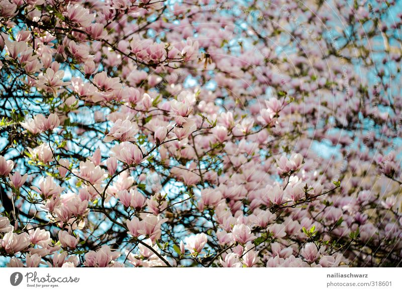 magnolia Environment Nature Plant Spring Summer Tree Flower Leaf Blossom Agricultural crop Magnolia tree Magnolia blossom Branch Garden Park Blossoming