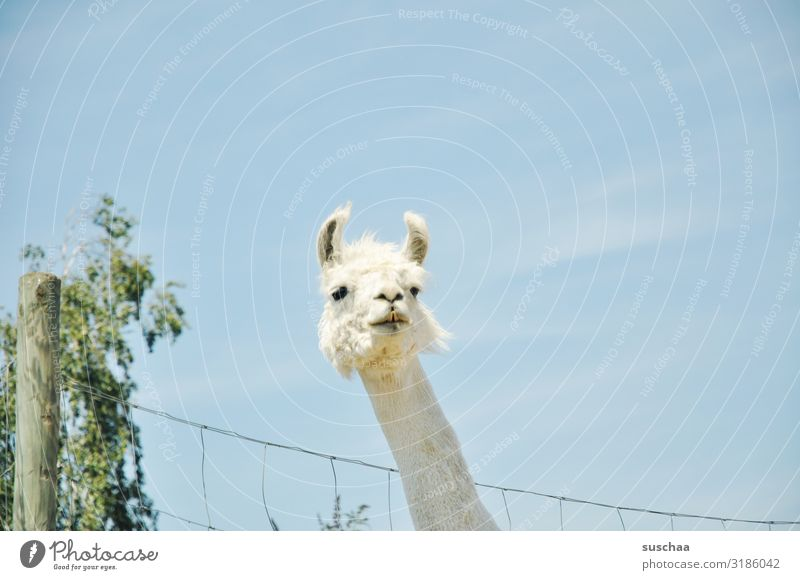 a lama (2) Llama Animal Pet Farm animal Camel Spit Looking Even-toed ungulate Herd animal assisted therapy Courtyard Pasture Enclosure Fence Fence post Pelt