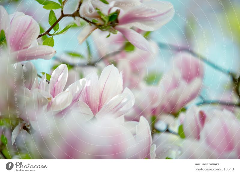 magnolia Environment Nature Plant Tree Flower Leaf Blossom Magnolia tree Branch Magnolia blossom Garden Park Blossoming Fragrance Growth Happiness Fresh Natural