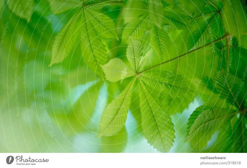 chestnuts Environment Nature Plant Spring Summer Tree Leaf Foliage plant Chestnut leaf Garden Park Forest Growth Simple Happiness Fresh Natural Positive
