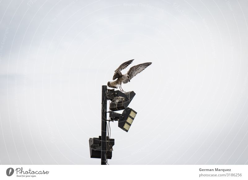 Seagull in a streetlight Environment Nature Landscape Animal Sky Clouds Weather Bird 1 Flying Colour photo Exterior shot Central perspective