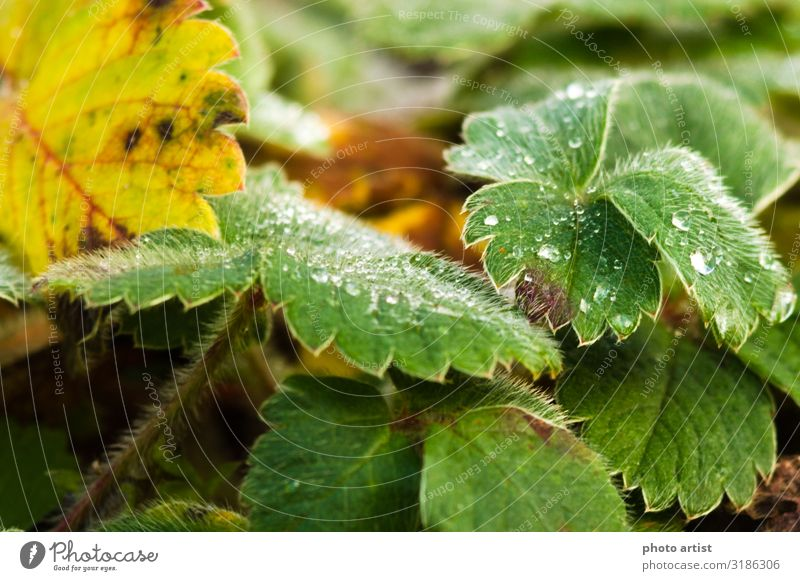 Strawberry plant in autumn when it rains Macro Fruit Environment Nature Plant Earth Water Drops of water Bad weather Leaf Foliage plant Agricultural crop Garden
