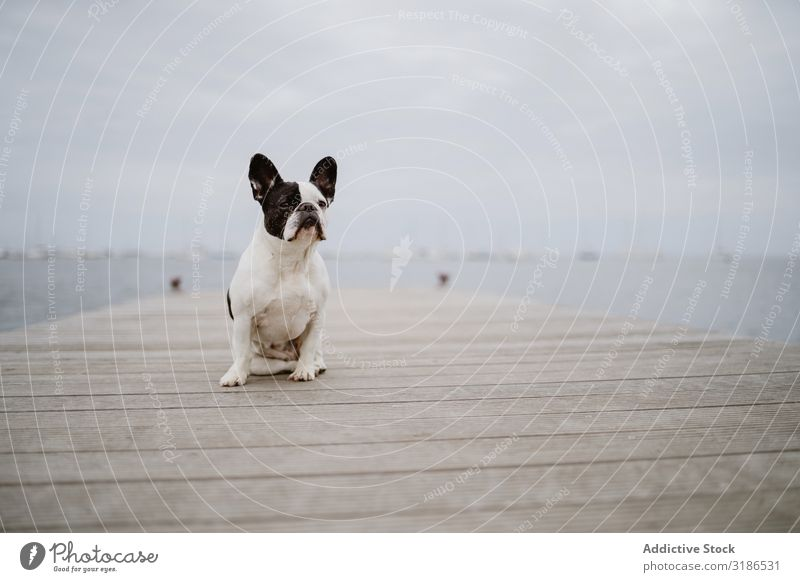 Cute dog on pier near sea Dog Jetty Ocean Sit Beach french bulldog Looking away Water Pet Waves Friendship Gray Dull Moody Coast Puppy Domestic Purebred