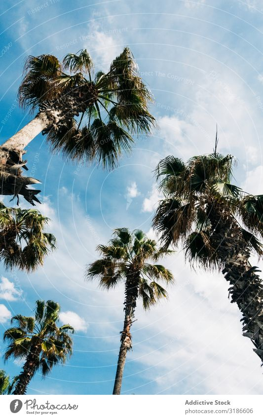 High palms under sky Palm of the hand Sky Height Lush Palm tree from below Sunbeam Leaf Clear Beautiful weather Summer Tropical Nature Plant Tree Branch Bushes