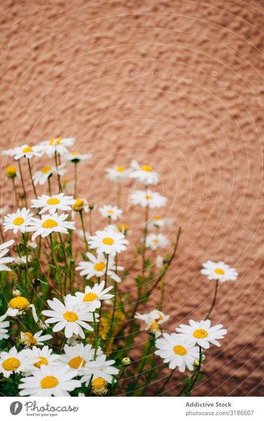 Daisy flowers Flower Nature White Spring Plant Floral Summer Background picture Design Blossom Decoration Illustration Beautiful Natural Garden Chamomile
