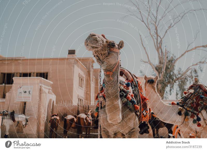Funny camels in desert Camel Desert Caravan Cairo Egypt Ornament Vacation & Travel