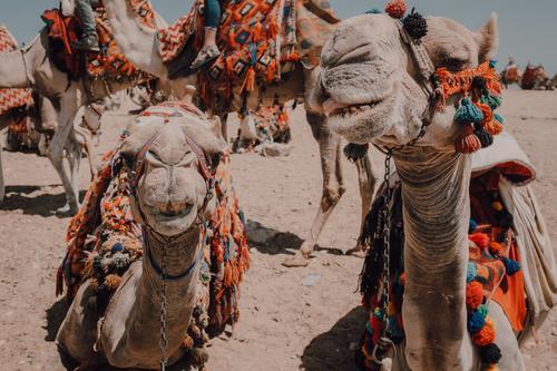 Funny camels in desert Camel Desert Caravan saddled Cairo Egypt Ornament Vacation & Travel Nature Sand Trip Sunbeam Day Dry arid Tourism Dromedary Animal