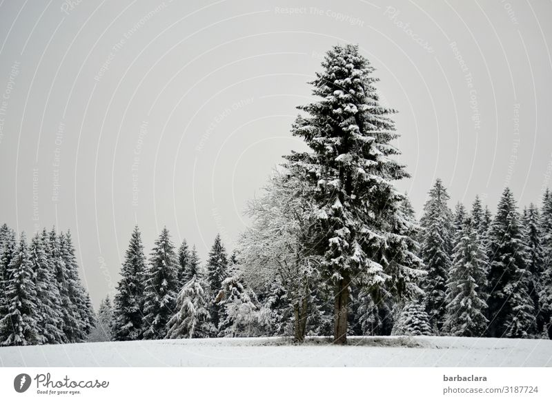 oh fir tree Christmas & Advent Landscape Elements Winter Ice Frost Snow Tree Fir tree Forest Black Forest Stand Esthetic Cold Gray White Moody Anticipation Hope