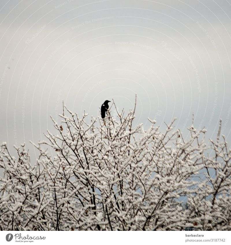 Black on White Nature Plant Animal Cloudless sky Sunlight Autumn Winter Ice Frost Snow Tree Twigs and branches Bird Raven birds 1 Freeze Sit Cold Above Moody