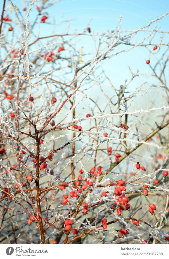 frozen rosehips Berries Rose hip Nature Plant Sky Winter Ice Frost Bushes Agricultural crop Illuminate Healthy Bright Cold Wild Red Colour Climate Environment