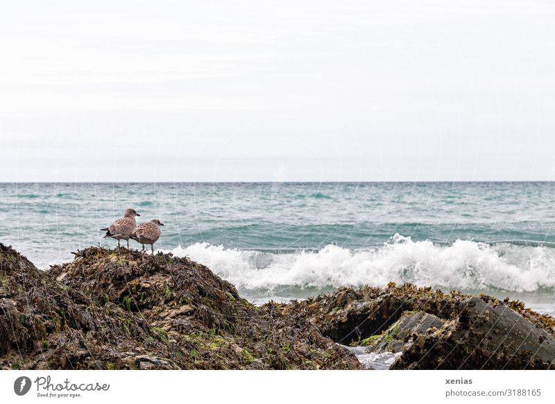 Two seagulls perched on a rock on the coast Waves Coast Ocean England Europe Animal Bird Seagull 2 Wait Blue Brown White Day Long shot Nature Landscape Beach
