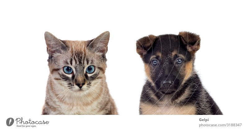 Two beautiful pets Happy Beautiful Face Hunting Baby Animal Fur coat Pet Dog Cat Baby animal Cute Brown Gray Red White Kitten Puppy Mammal isolated Purebred