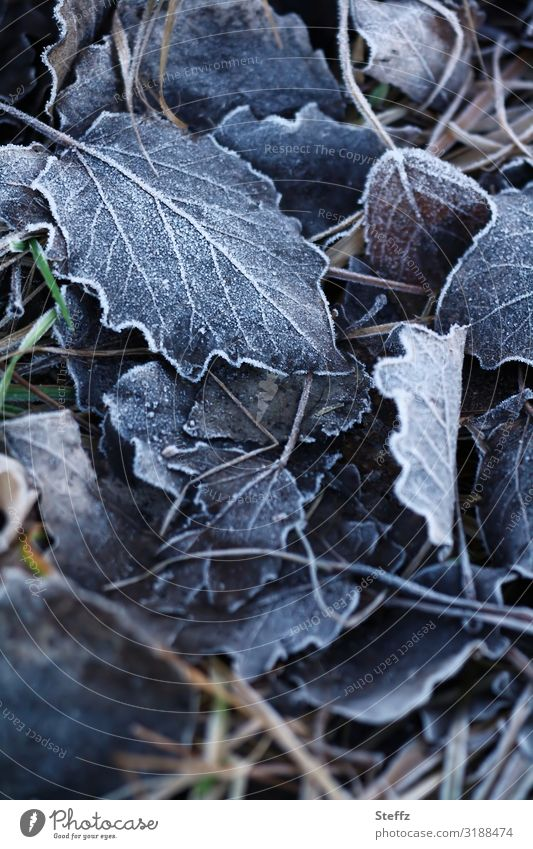 A whiff of frost Environment Nature Autumn Winter Climate Weather Ice Frost Plant Leaf Autumn leaves Rachis Forest Woodground Freeze Cold Near Natural Beautiful