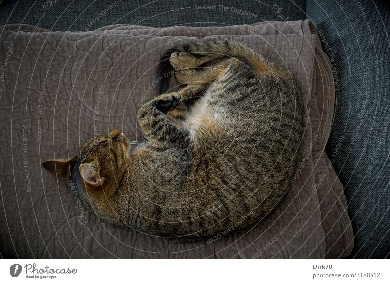Cat resting ... Well-being Living or residing Flat (apartment) Animal Pet Tabby cat Tiger skin pattern 1 Blanket Sofa Lie Sleep Dream Cuddly Trust Safety
