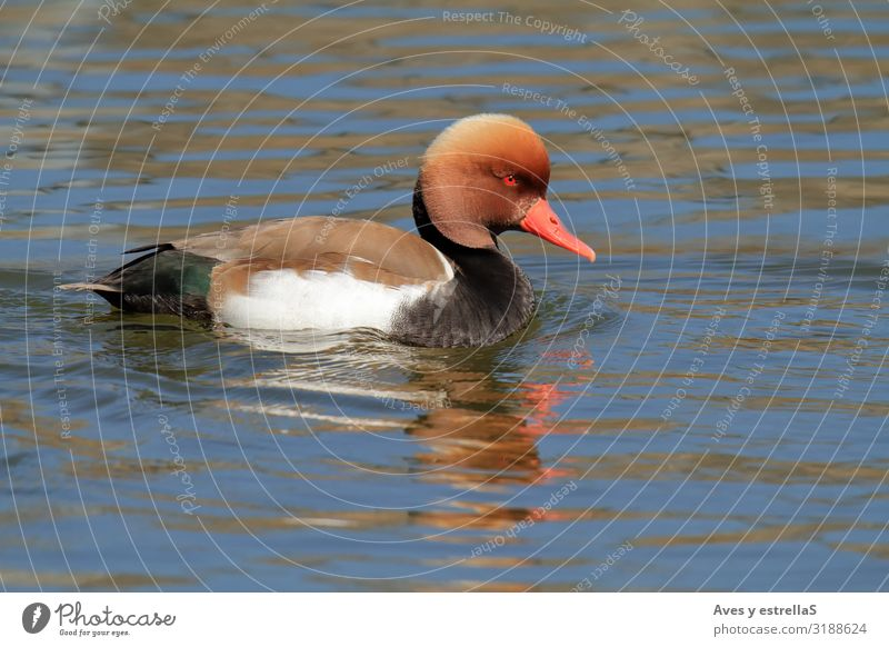 Red-crested pochard (Netta rufina) male swimming Duck Ant Swimming & Bathing Water Animal Bird Beak Eyes Feather Nettle animal
