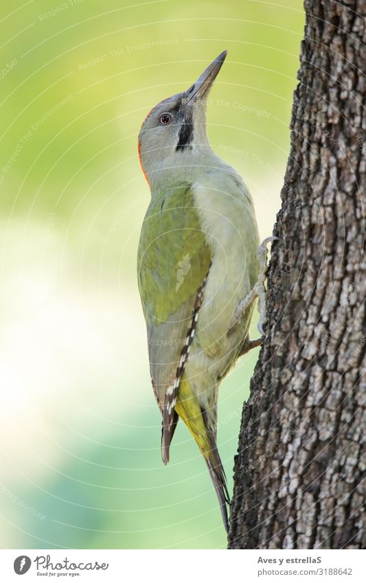 European green woodpecker (Picus viridis) on a tree trunk Animal Bird Woodpecker Beak Eyes Feather Green Grass chopper picus viridis European Greenfinch