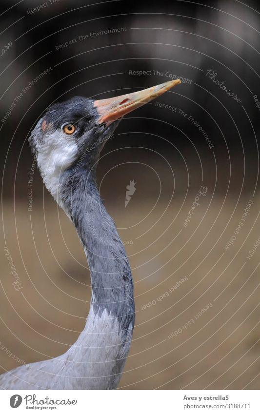 Close-up portrait of a common crane (Grus grus) Bird Crane Portrait photograph Animal Beak Feather Wild Eyes Gray Neck Common Raven
