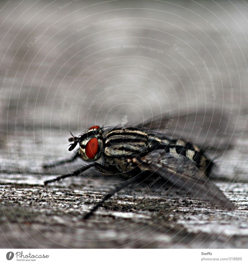 hairy fly takes a break from flying Fly Hairy fly legs Compound eye Flight break Insect Simple Observe Gray Sit Near Life naturally Red Calm Break Woody