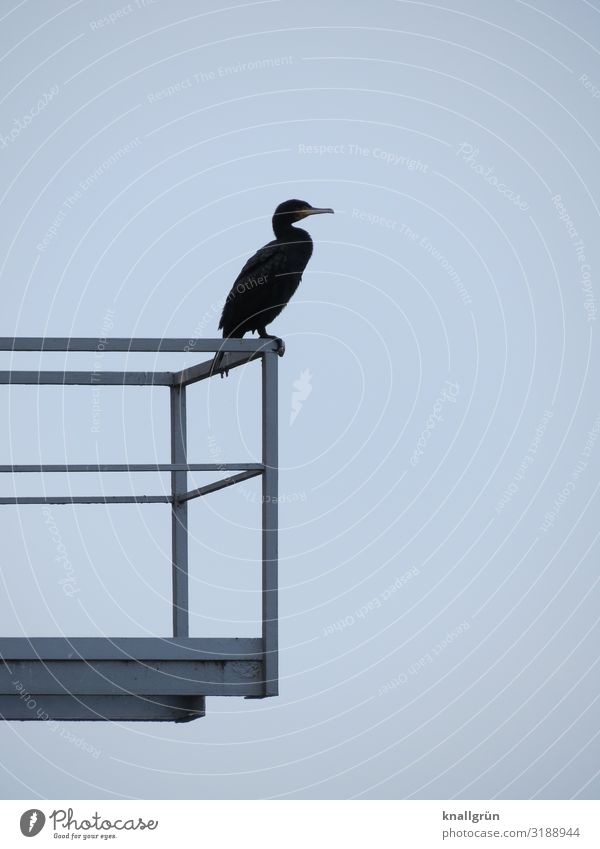 cormorant Balcony Handrail Animal Wild animal Bird 1 Stand Wait Blue Gray Colour photo Exterior shot Deserted Copy Space right Copy Space top Copy Space bottom