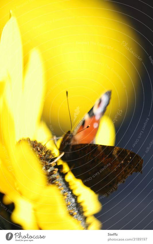warm September sunflower in bloom Sunflower Butterfly Noble butterfly sunny day Indian Summer sunny autumn day early autumn Indian summer yellow flower