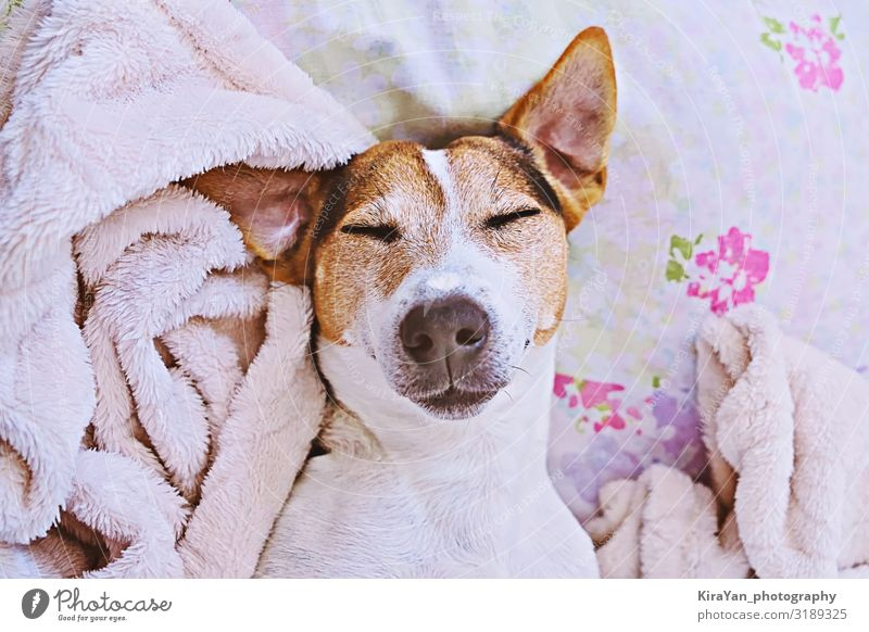 Sleepy cute dog in blanket on bed Lifestyle Health care Harmonious Leisure and hobbies Bedroom Adults Head Animal Pet Smiling Dream Funny Cute Above Pink White