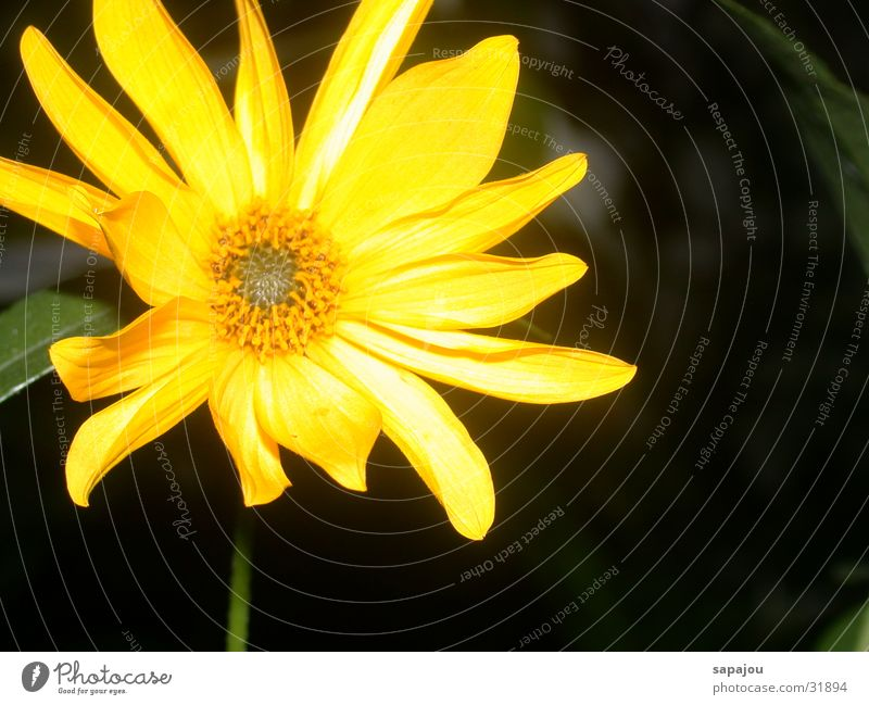 Beautiful Sun Flower Yellow Lamp Bright