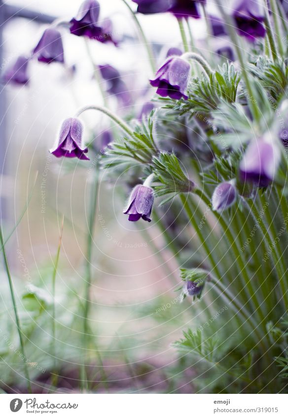 Nature Green Plant Flower Environment Blossom Natural Violet Tulip